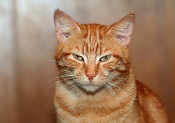 Red lazy cat portrait