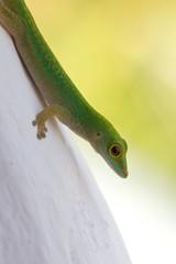 Gecko closeup 1