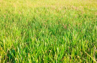 Grass closeup in a field.