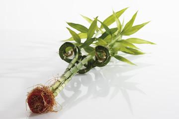Lucky Bamboo (Dracaena Sanderiana )