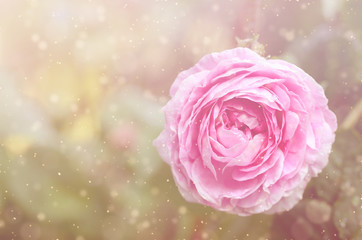 Dreamy photo of a rose flower