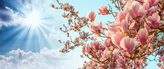 Foto op Plexiglas Magnolia Magnolia tree blossom with colourful sky on background