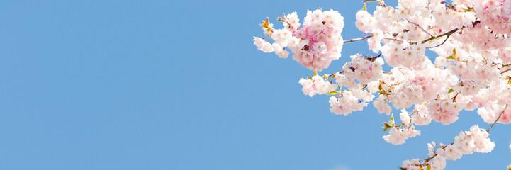 Papiers peints Fleur de cerisier kirschblüte als banner