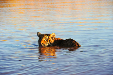 Young Bengal Tiger swimming in the water
