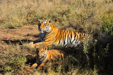 Tiger mother with her cub