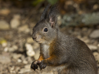 close up of a nice squirrel with brown fur