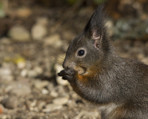 Alert grey squirrel holding a nut in its paws