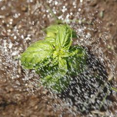 バジルの水やり