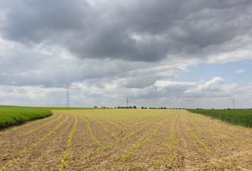 junger Mais wächst auf dem Feld in der Landwirtschaft