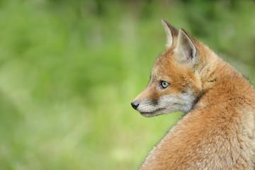Fox looking over his shoulder