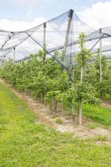 junge Apfelbäume werden mit einem Netz geschützt