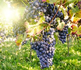Fototapete - Weinanbau in der Pfalz: sonniger Tag im Wingert :)