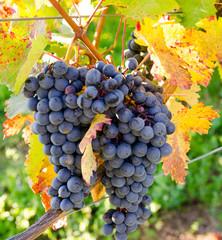 Fototapete - Pfälzer Weinanbau: Blaue Trauben mit bunten Blättern :)