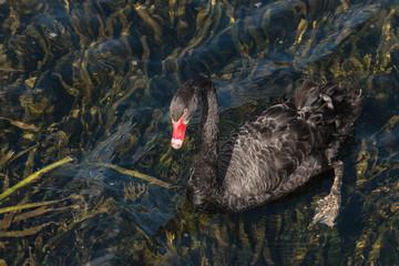 black swan swimming on lake