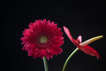 red gerbera and Antherium on black