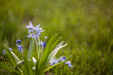 siberian squill ground cover Scilla siberica