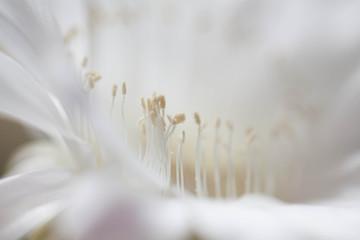 Blooming Cereus [Cactus Flower]