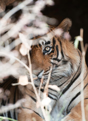 Bengal tiger looking out of a bush - national park ranthambore