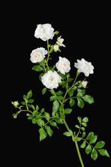 White miniature garden roses on black