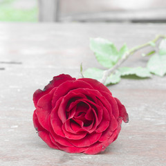 Red roses for someone you love in the Valentine season.