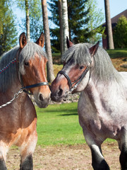 mare and stallion of brabant breed