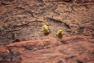 zwei gelbe Vögel  auf rotem Steinboden