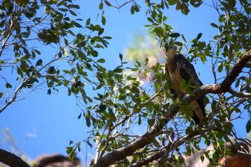Fotoväggar - Adler in einem Baum in Australien