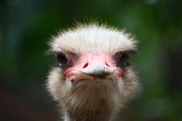 Fotoväggar - Emu