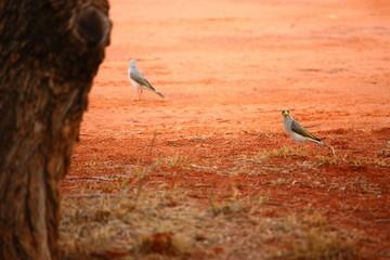 Fotoväggar - graue Vögel auf roter Erde