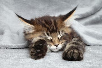 Wall Mural - Maine Coon kitten sleep