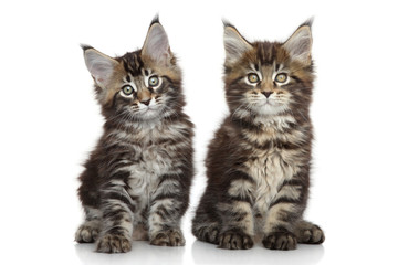 Wall Mural - Maine Coon kittens