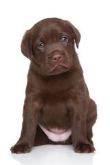 Chocolate Labrador retriever puppy, portrait