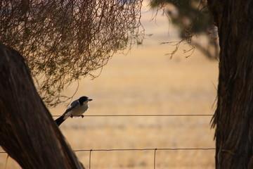 Fotoväggar - kleiner grauer australischer Vogel