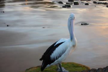 Fotoväggar - Pelikan