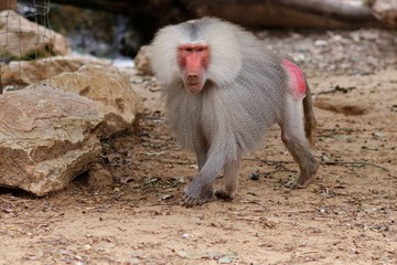 Large male hamadryas baboon walking in zoo