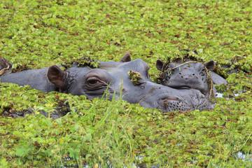 Nilpferd mit seinem Jungtier im Sumpf - Okavango Delta