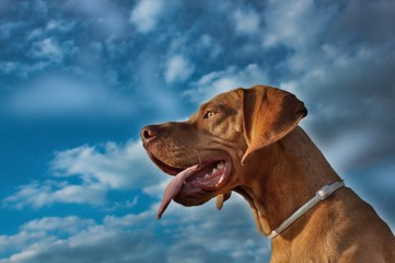 A vizsla dog sticks out its tongue, Hungarian pointer