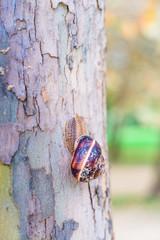 Burgundi snail or Escargot,