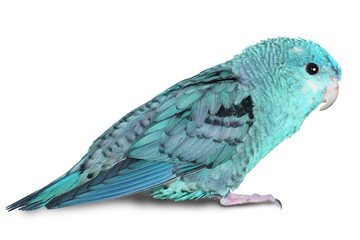 Blue lineolated parakeet Fotomurales