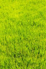Rice field texture