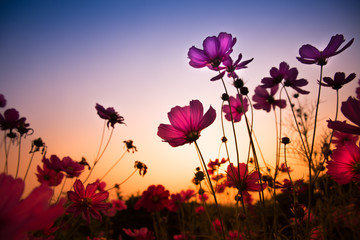 The cosmos flower, beautiful cosmos flowers with color filters