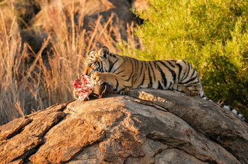 Wall Mural - A young tiger enjoying its meal