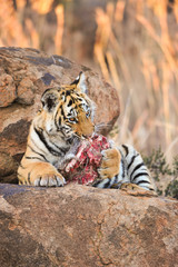 Wall Mural - A young tiger enjoying its food