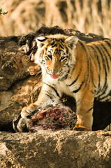 Wall Mural - A young tiger having its meal