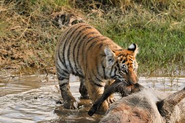 Wall Mural - A young tiger tackling its meal