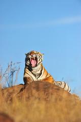 Wall Mural - Shot of a yawning tiger