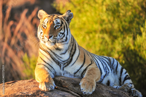 Wall mural Portrait of a Tiger