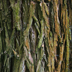 Bark Tree texture in nature