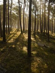 Licht in einem Kiefernwald auf Insel Rügen
