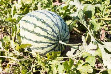 Watermelon in field
